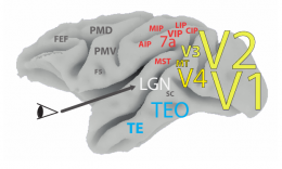 Areas of the visual cortex